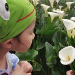 46834076245 d44d49d913 z 150x150 - 【台北旅遊。台灣】北投《財福海芋田》穿著可愛的「青蛙裝」採花去